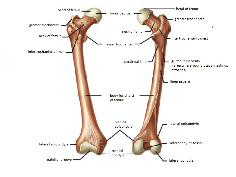 Femur Anatomy And Attachments Bone And Spine
