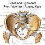top view of bony pelvis