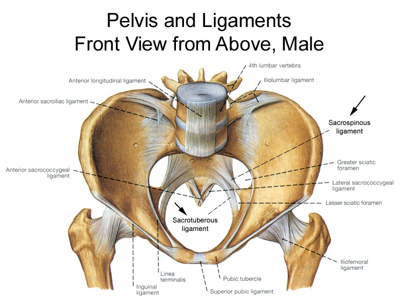 one half of female pelvic bone diagram hip bone anatomy or pelvic bone ilium pubis ischium  bone and spine  hip bone anatomy or pelvic bone ilium