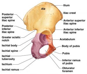 hip-bone-diagram
