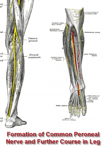 Peroneal Nerve Entrapment can occur anywhere along the course
