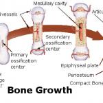 endochondral ossification model