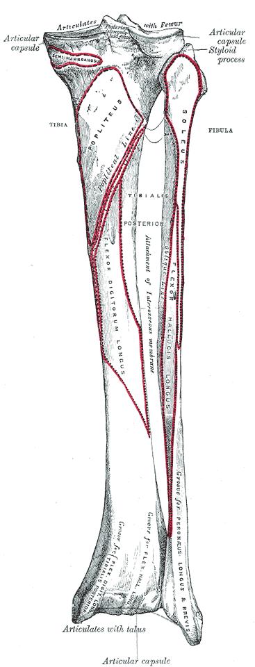 Attachments on Fibula