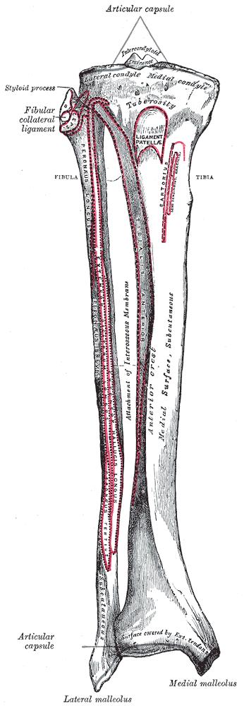 Fibula Attachments