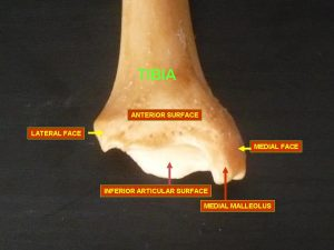 Tibia lower end anterior view