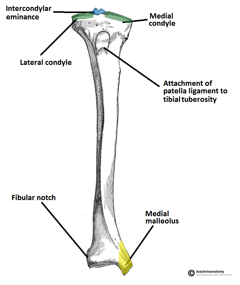 Tibia Anatomy And Attachments Bone And Spine