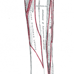 Anterior attachments of tibia