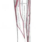 Anterior attachments of tibia