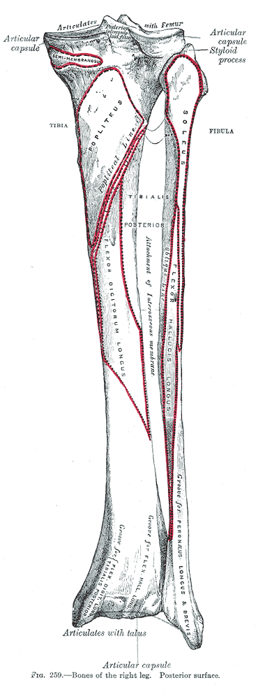 tibia anatomy and attachments bone and spineattachments on the tibia