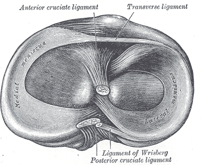 Diagram of Attachements on articular surface of tibia