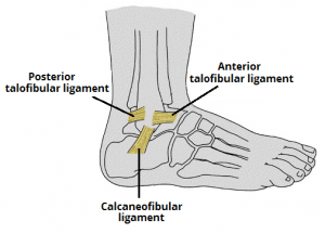 Lateral Ligament of the Ankle Joint