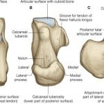 Calcaneus anatomy