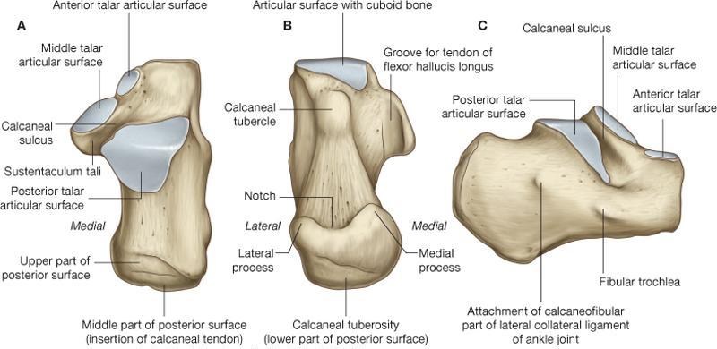 Calcaneus Anatomy And Attachments Bone And Spine