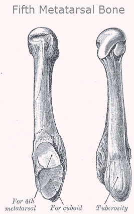 Fifth Metatarsal Bone