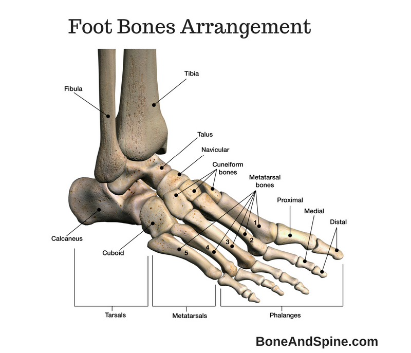 Arrangement of foot bones