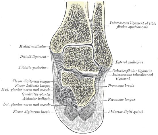 inferior-tibiofibular-joint