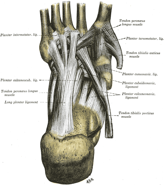 Foot ligaments