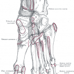 Attachments on foot - plantar surface