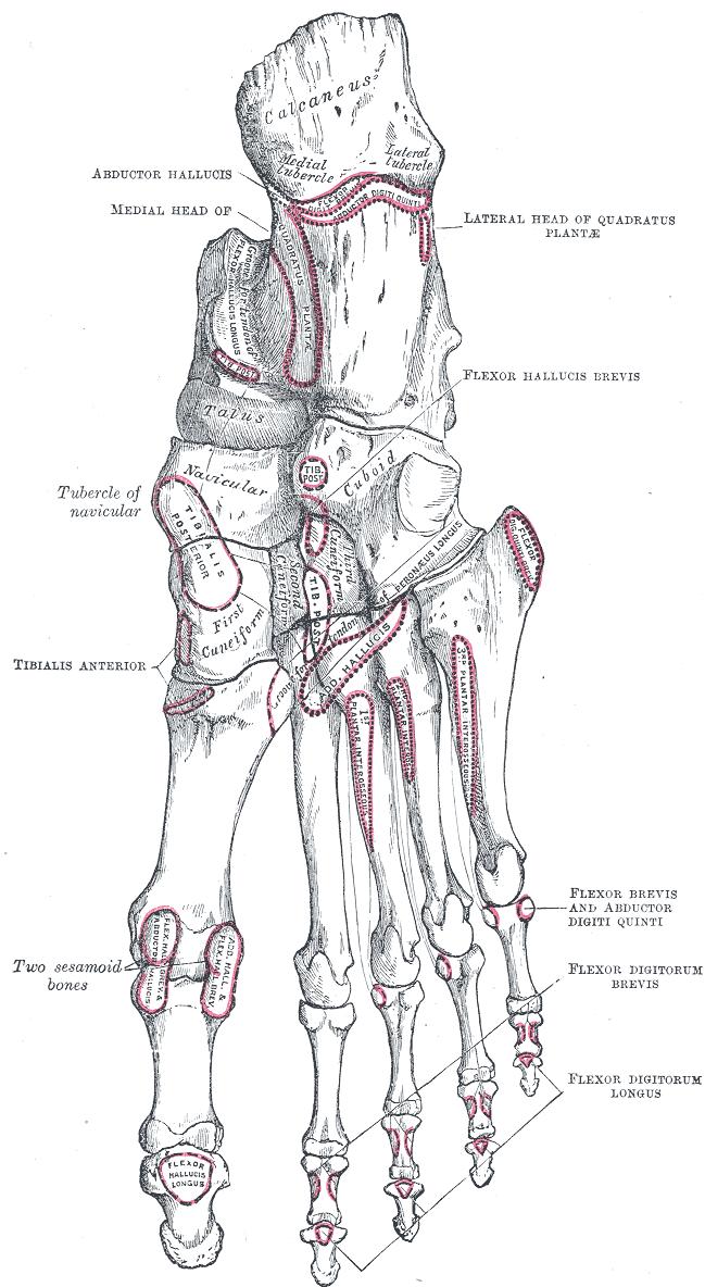 Anatomy Of Metatarsal Bones And Phalanges Bone And Spine