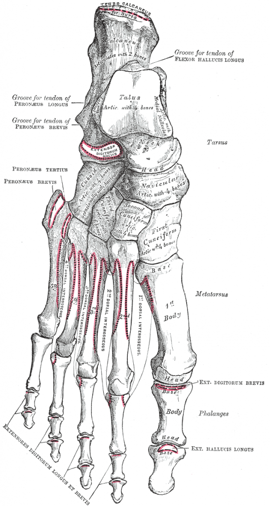 Attachments on foot - dorsal surface