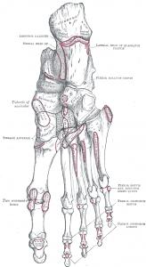 attachments on tarsal bones