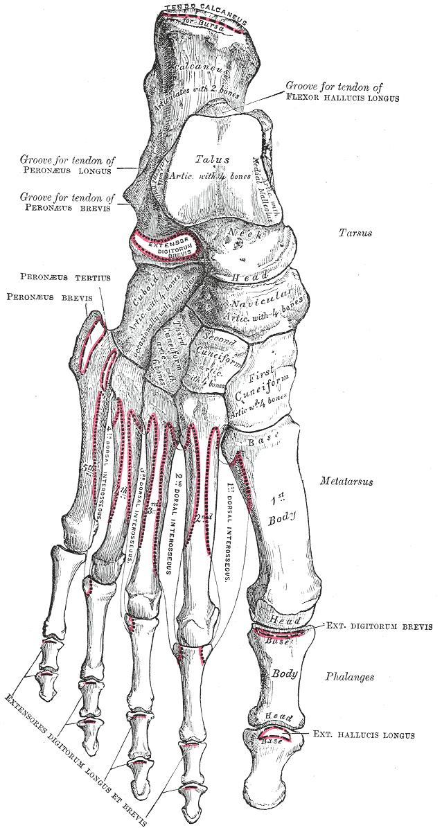 Tarsal Bones Anatomy Bone And Spine