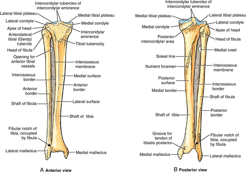 tibia-fibula-interosseous-membrane