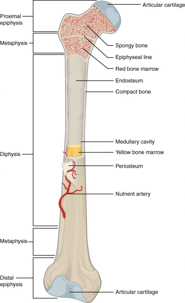 Parts of the long bone anatomy