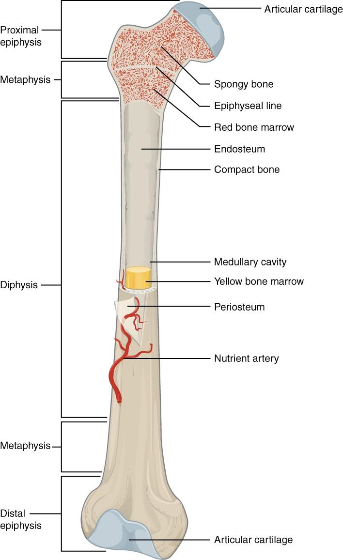 Bones Die Knochen