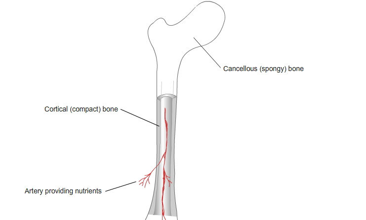 Cortical and Cancellous Bone