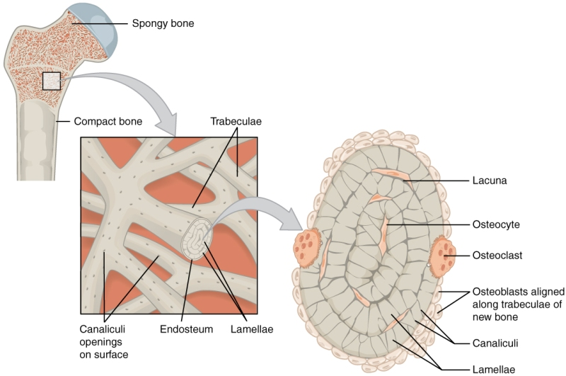 Bone Anatomy - Cancellous Bone