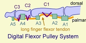 Flexor pulley system of finger