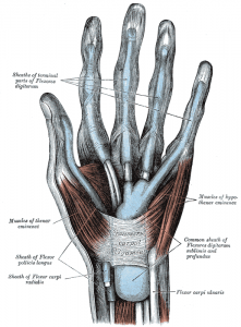 Common synovial sheath of flexor tendons