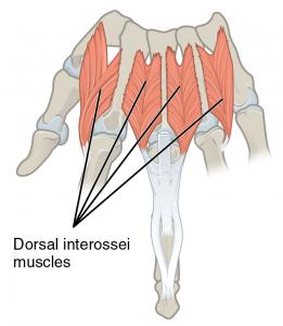 Dorsal Interossei Musles