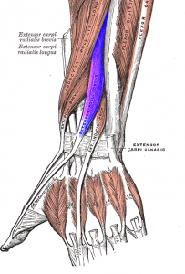 Extensor muscles to the thumb