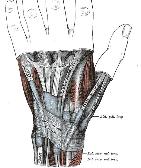 Extensor Retinaculum of Wrist