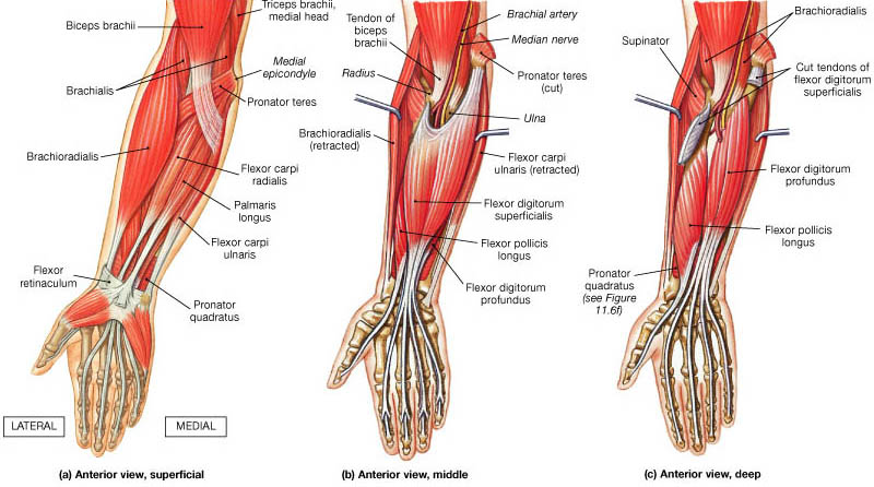 Muscles Of Hand And Wrist Bone And Spine
