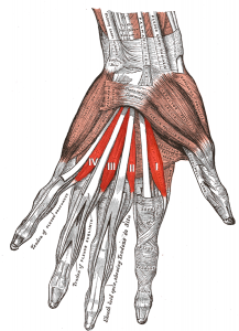 Lumbrical muscles of hand