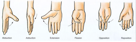 Movements of Thumb