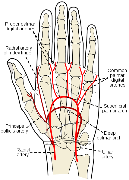 arteries of hand