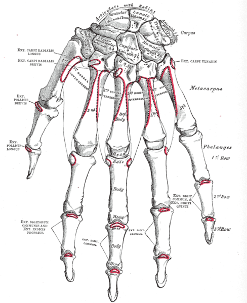 Bones of the hand dorsal view
