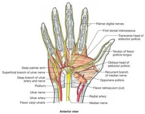 Median nerve and ulnar nerve distribution