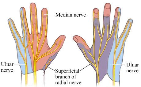 Cutaneous nerve supply of different nerves in hand