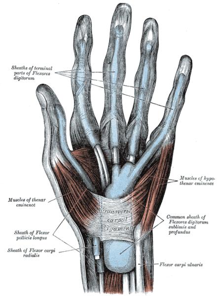 synovial sheaths of hand