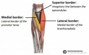 Cubital Fossa Boundaries