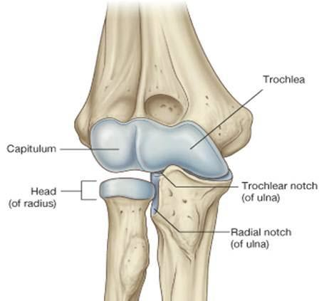 Image result for elbow joint