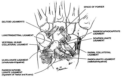 Space of Poirier and Ligaments of Wrist
