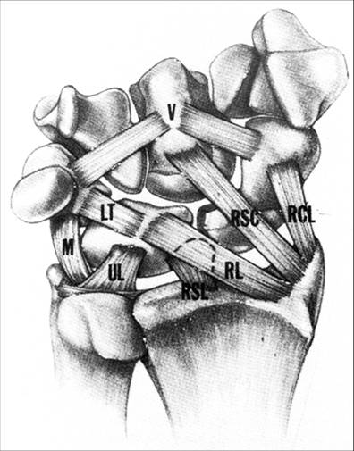 Volar or Palmar Ligaments of Wrist