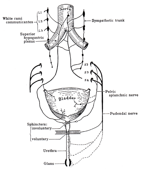 Structures supplied by Pudendal Nerve