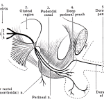 pudendal nerve anatomy and course